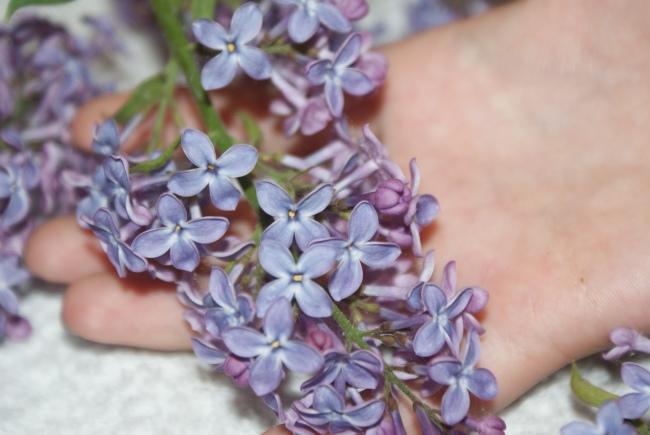Lila syrénblommor. Lilac flowers. Violetteja syreenin kukkia.