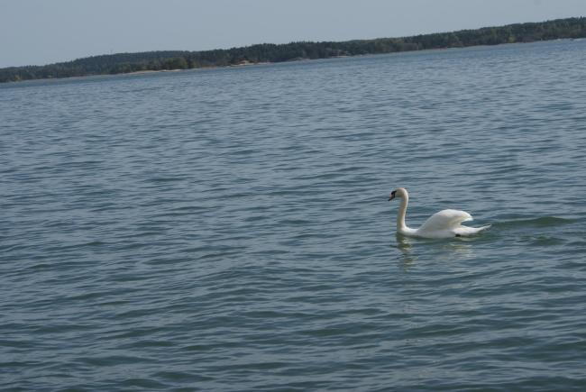 En svan i Runsala. A swan in Ruissalo. Joutsen Ruissalossa.