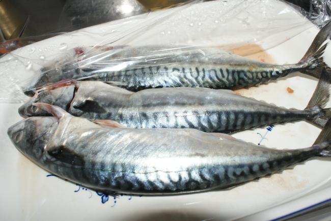 Tre färska makriller. Three fresh mackerels. Kolme tuoretta makrillia.
