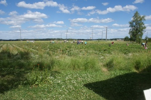 En finsk jordgubbsodling. A strawberry field in Finland. Mansikkaviljelmä Suomessa.