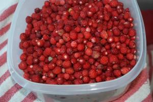 Man kan plocka smultron också. You can pick wild strawberries as well. Metsämansikoita riittää poimittavaksi.