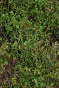 Bläbär i skogen. Blueberries in the forest. Mustikoita metsässä.