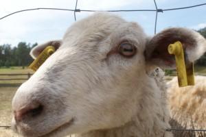 Ett lamm på en av närliggande gårdarna. A lamb at a farm i our neighbourhood. Lammas eräällä lähitilallamme.