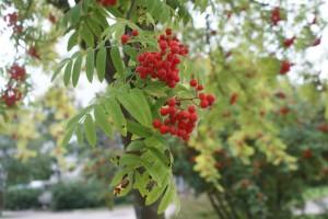 Rönnbärsträd, rowanberry tree, pihlaja