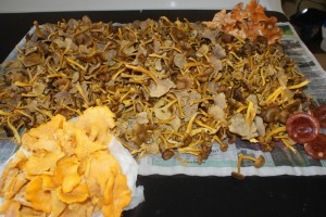 Svamp, fungi, sienet