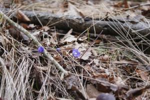 Våren är blyg, spring is shy, kevät ujostelee