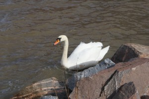 Ensam svan, lonely swan, yksinäinen joutsen