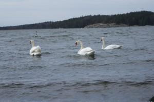 Svanar, swans, joutsenia