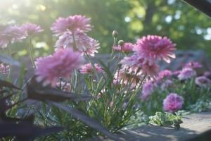 Sommarblommor, summer flowers, kesäkukkia