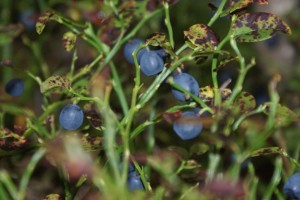 Blåbär, blueberries, mustikoita