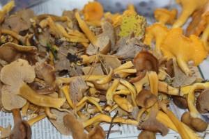 Trattkantareller och kantareller, winter mushrooms and chanterelles, suppilovahveroita ja kanttarelleja