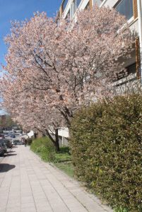 Körsbärsträd, cherry tree, kirsikkapuu