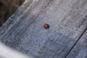 Nyckelpiga, ladybeetle, leppäkerttu
