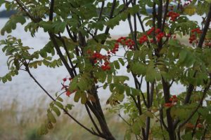 Rönnbär, rowan berries, pihlajanmarjoja