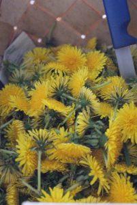 Maskrosor, dandelions, voikukkia